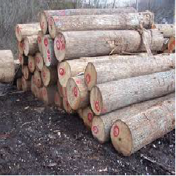 ELBasswood Veneer Logs 1
