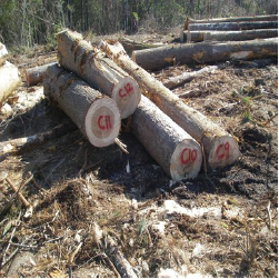 ELCypress Veneer Logs 2