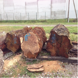 ELEuropean Poplar Figured Logs 1
