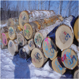 ELYellow Birch Veneer Logs 1
